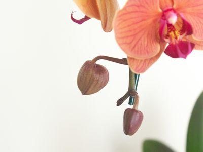 closeup of orchid bulbs