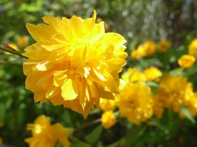 10 best shrubs with yellow flowers these shrubs are as impatient for spring as you are mightylinksfo