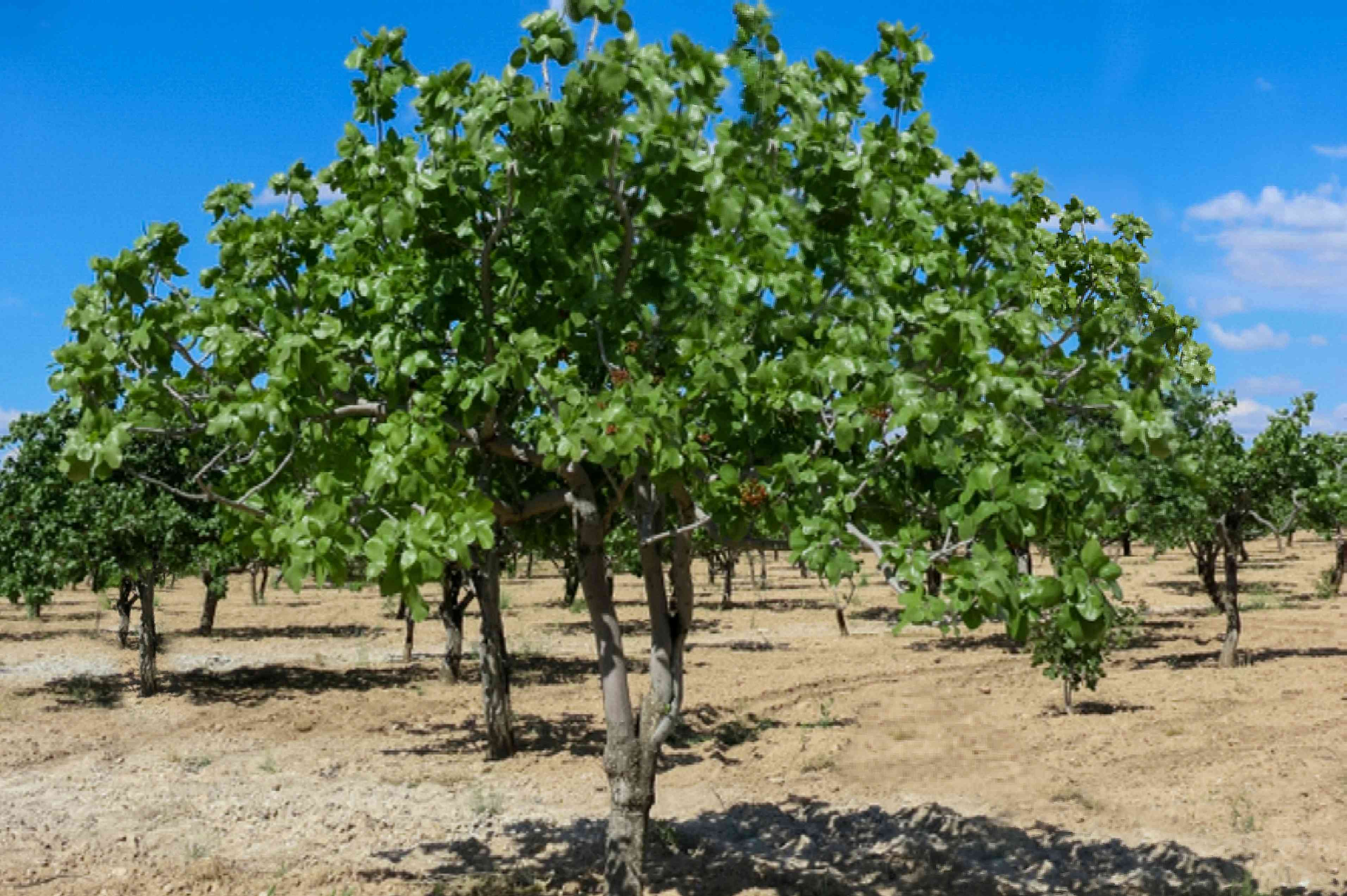 Pistachio tree in arid orchard of other trees against blue sky