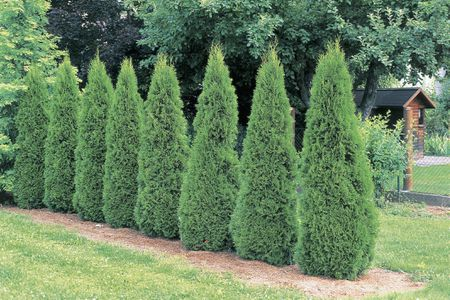 Emerald Green Arborvitae Shrubs Growing In A Loose Hedge