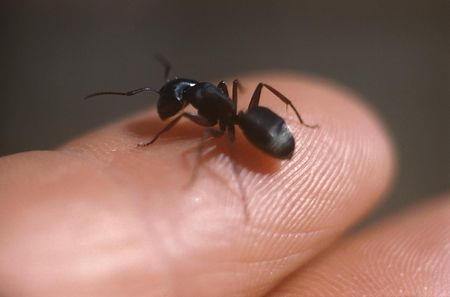 Get Rid of Ants Cheaply and Naturally