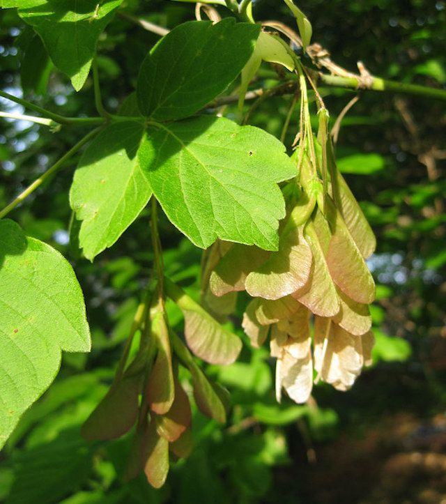 Triple set of light green leaves with flowering seed pods hanging down