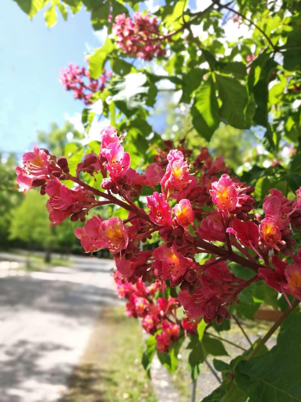 Blooming red buckeye