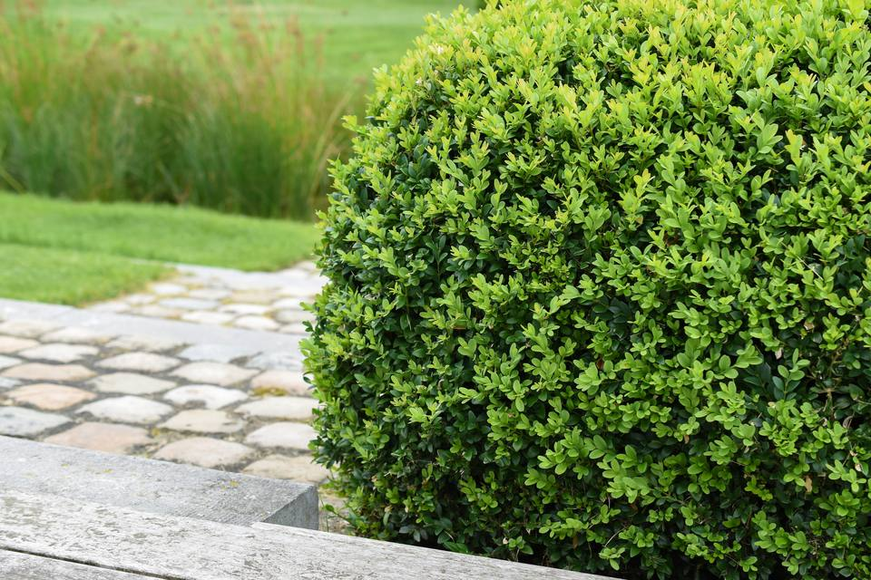Close up of trimmed evergreen boxwood plant, Buxus sempervirens, in garden.