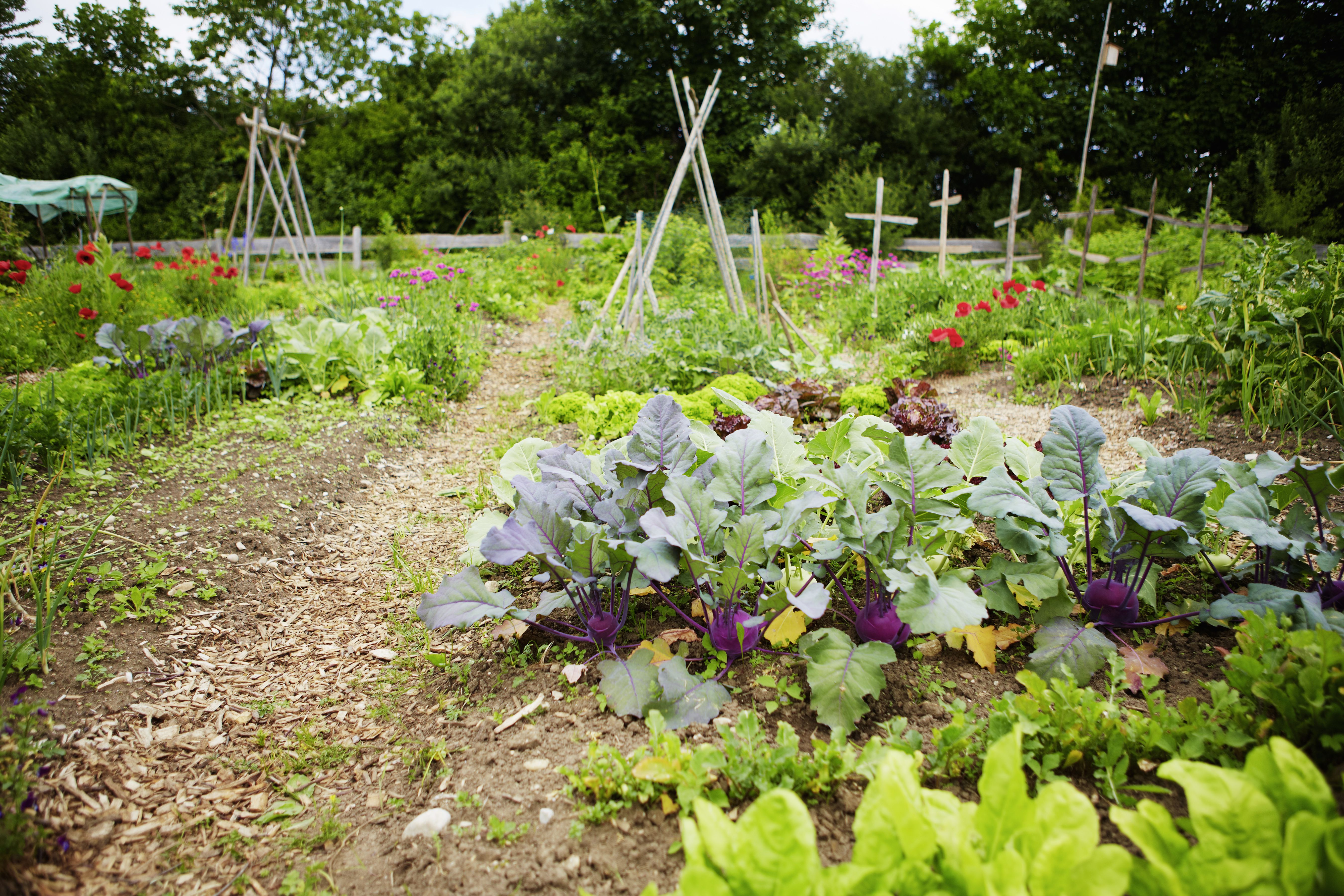 How to prepare for a fall vegetable garden for How to cut lettuce from garden