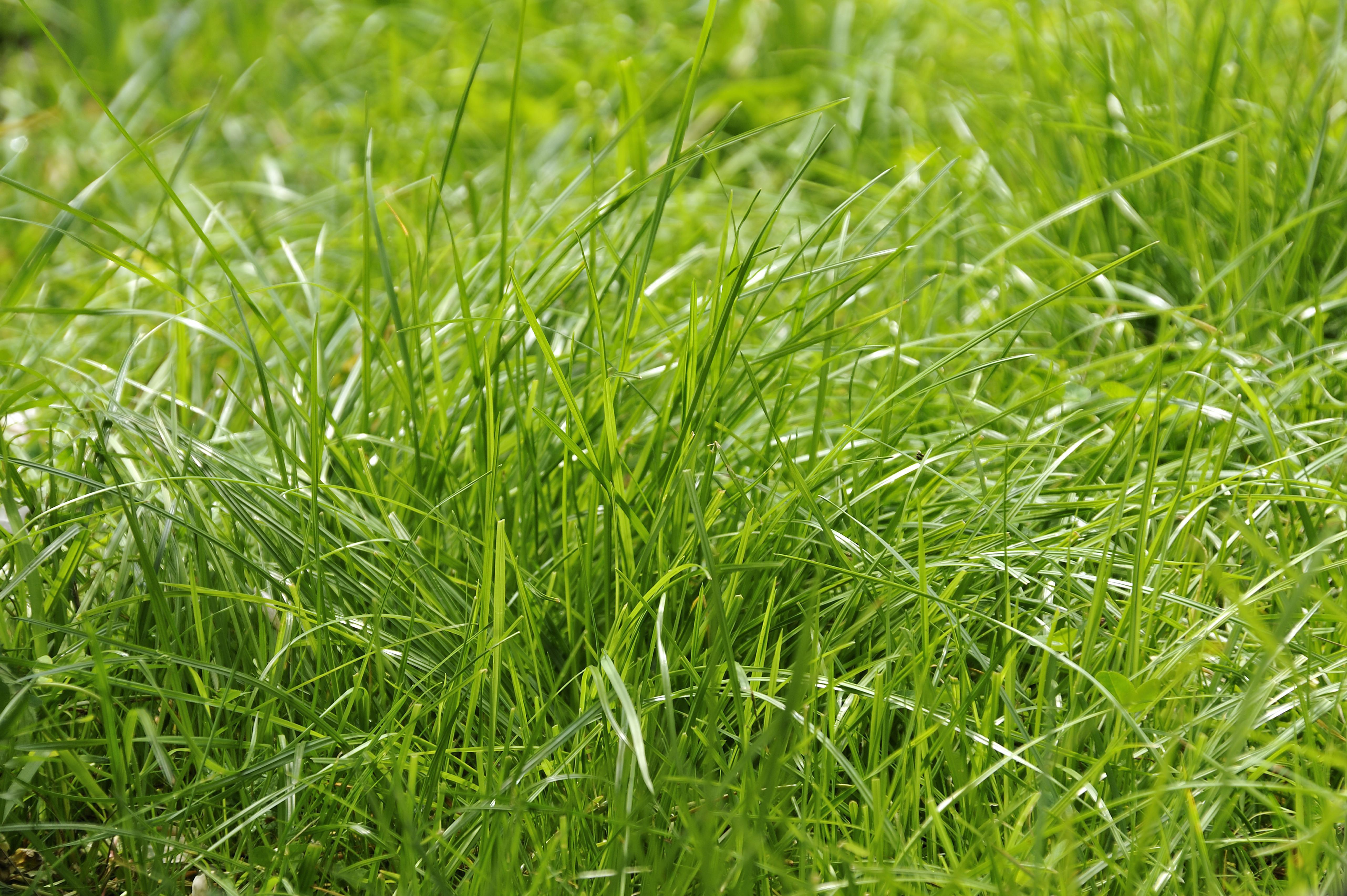 Briznas de hierba, festuca roja o hierba festuca roja rastrera (Festuca rubra), Freiamt, Selva Negra, Baden-Wuerttemberg, Alemania