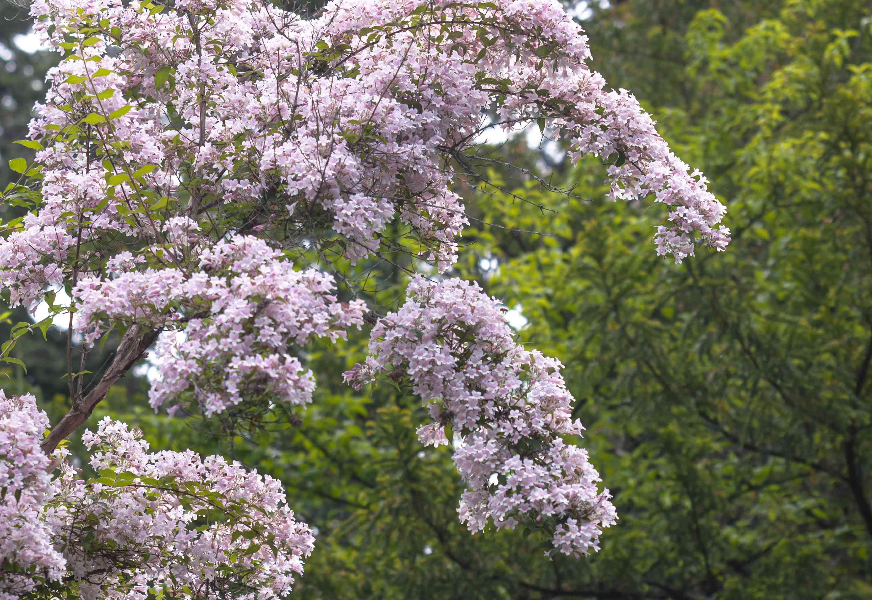 Beauty bush with small pink flowers clustered over drooping branches with trees in background