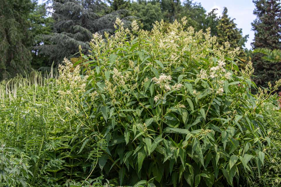 Giant fleece flower shrub with tall stems with large pointed leaves with white plumes