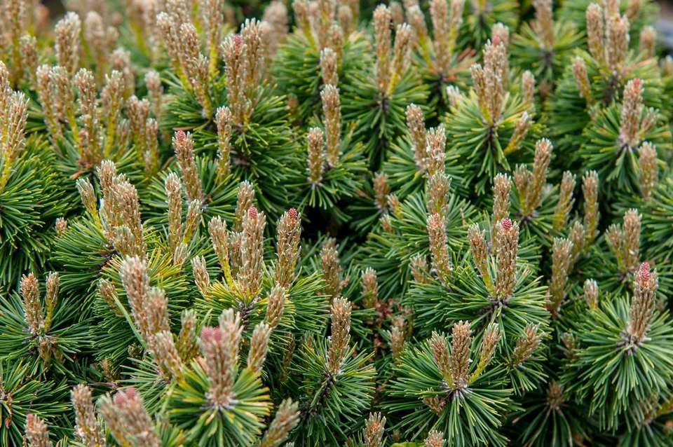 mugo pine