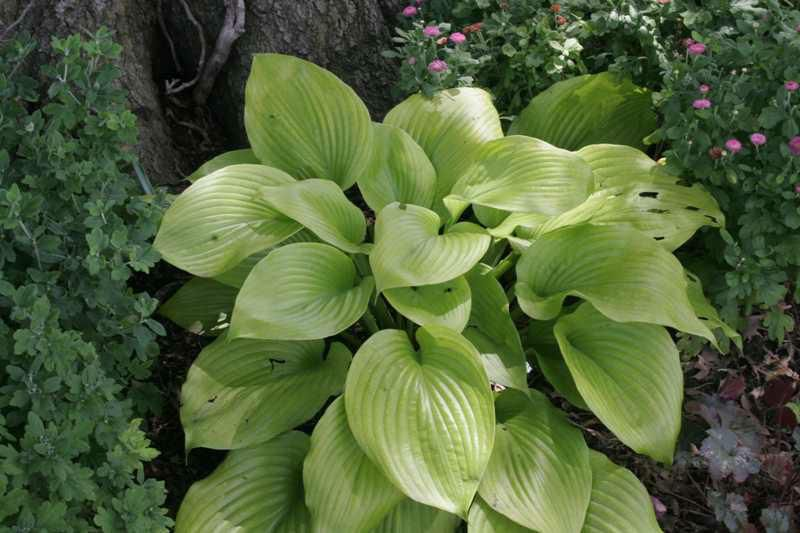 'Sum and Substance' hosta with green leaves