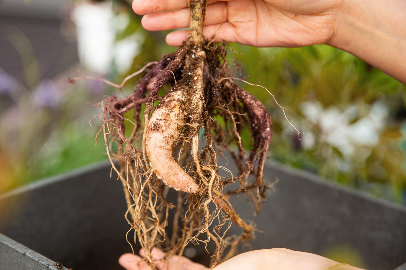 Dahlia plant dug up from plant with exposed roots and tubers