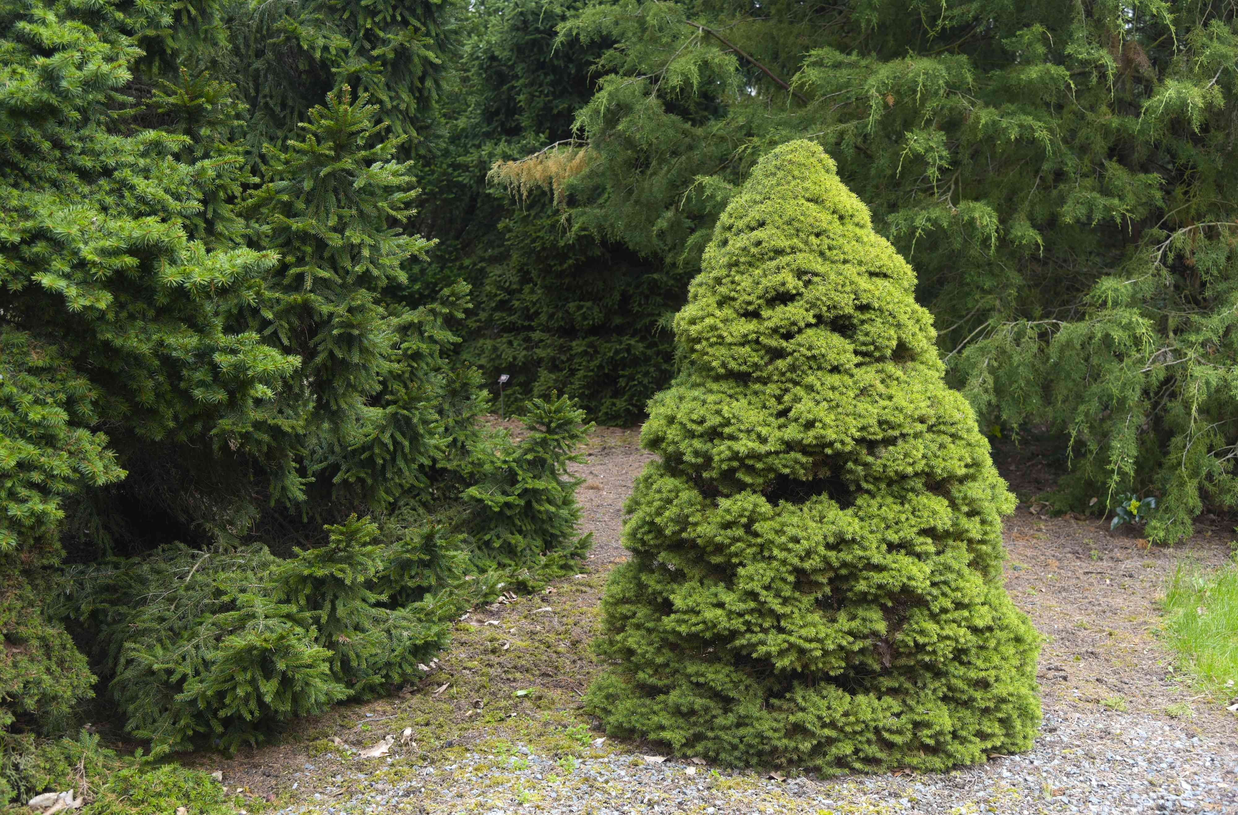 Dwarf Alberta tree on gravel ground in front of other evergreen trees