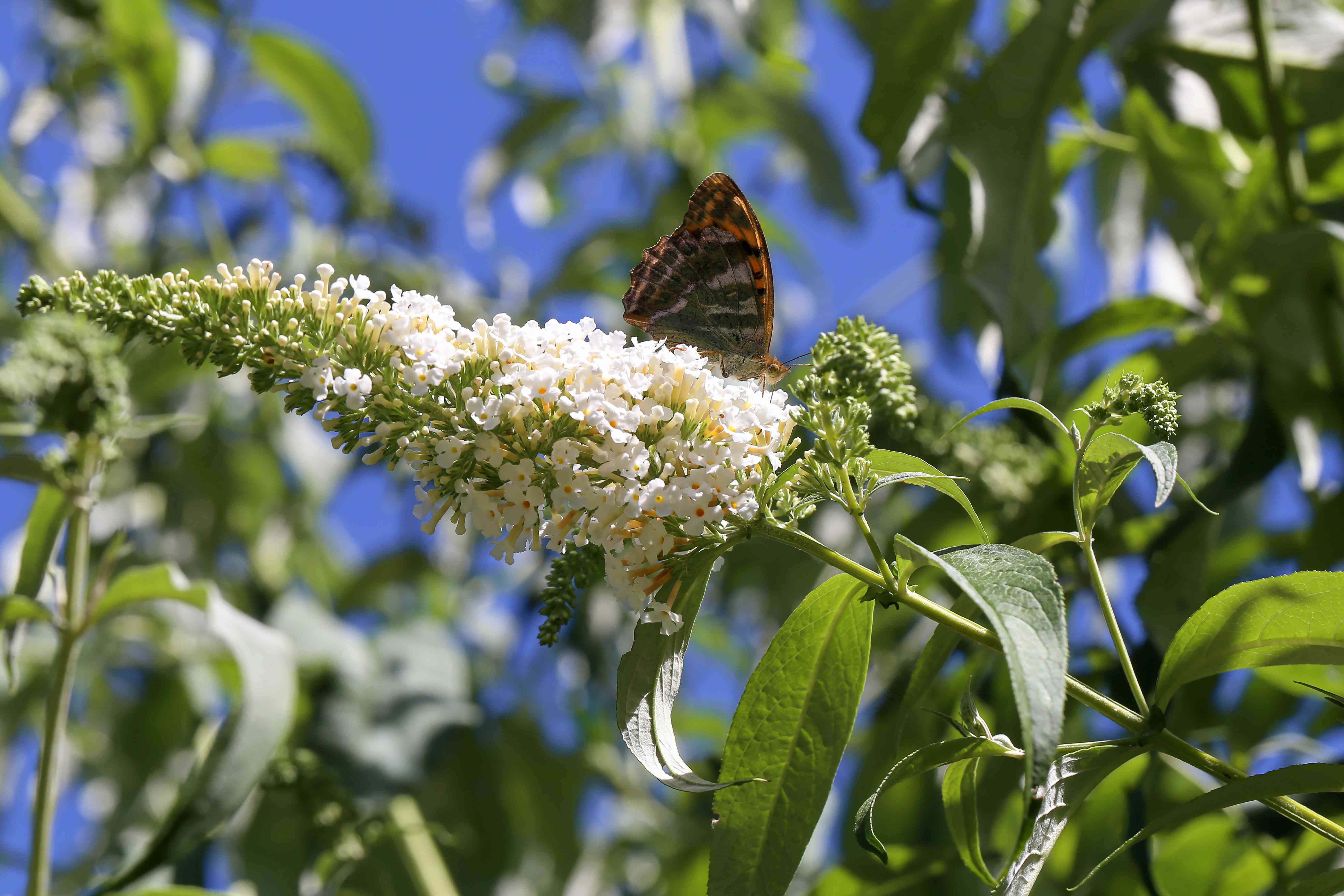 Buddleja is called a butterfly bush because many butterflies gather on the flowers