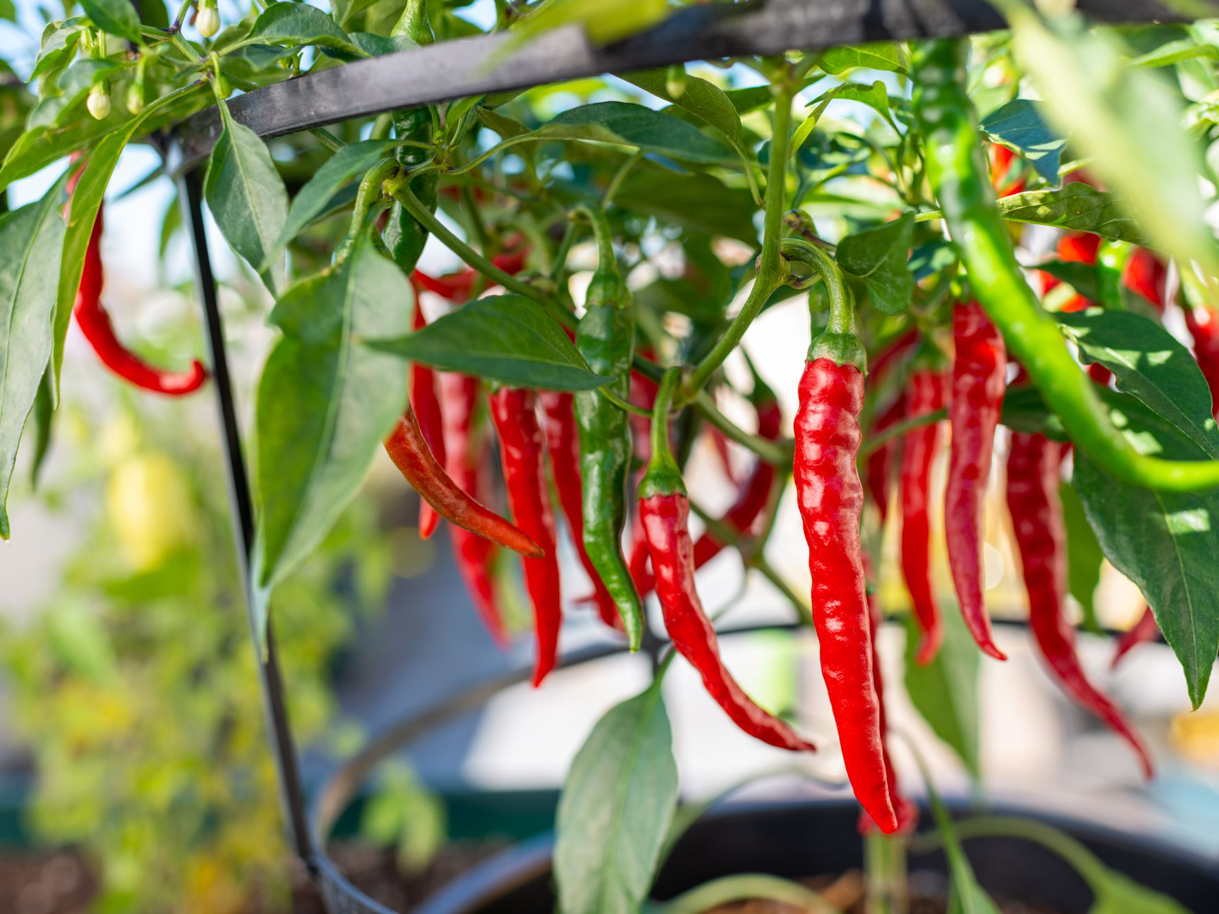 Choosing and Growing Hot Chili Peppers