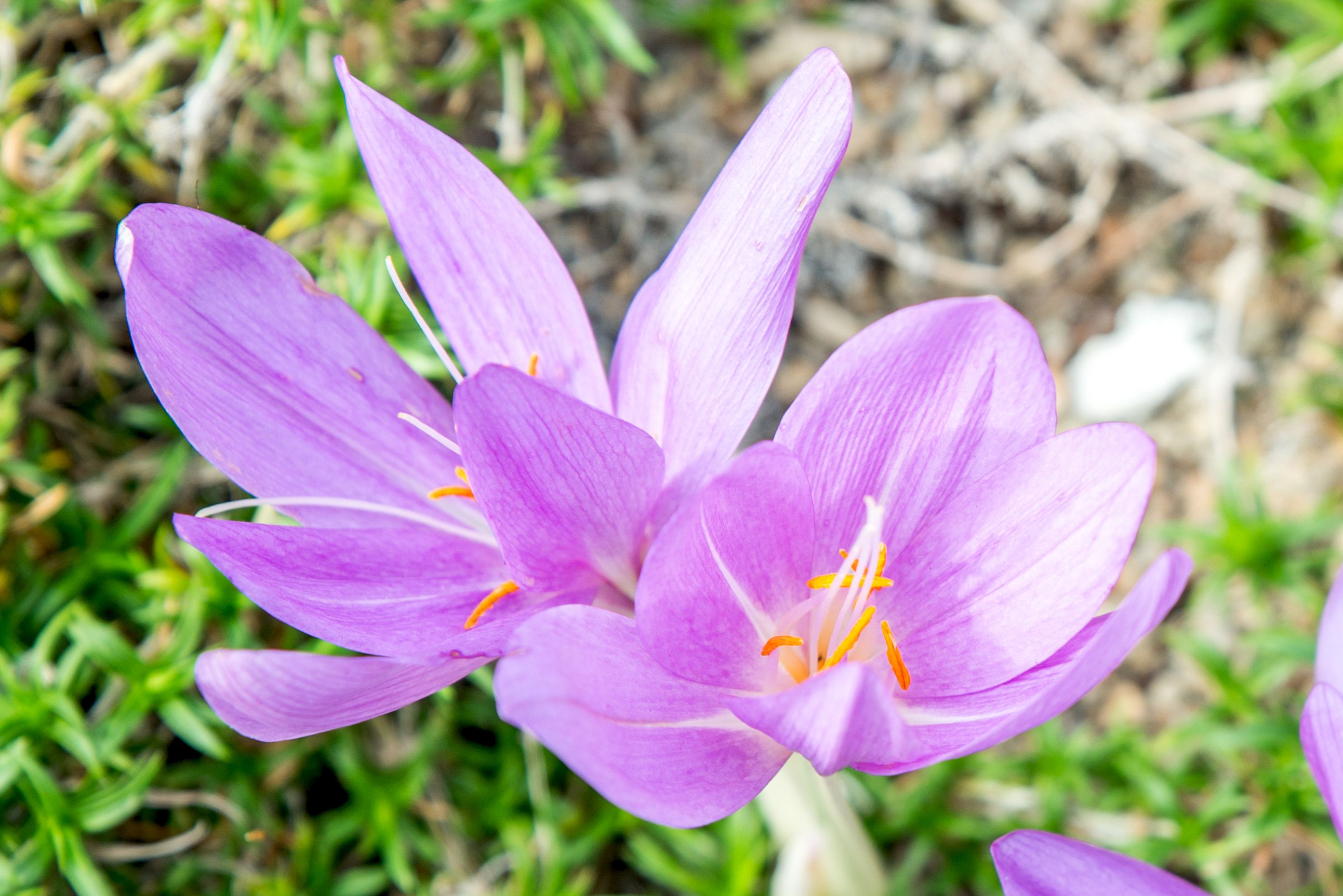 Colchicum Flowers (Autumn Crocus): Types, How to Grow and