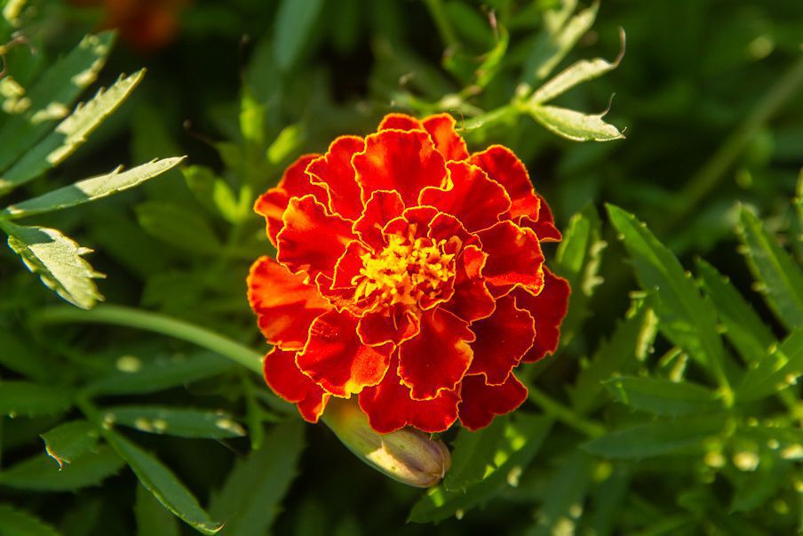 Marigold flowers with red and yellow colored petals in garden closeup