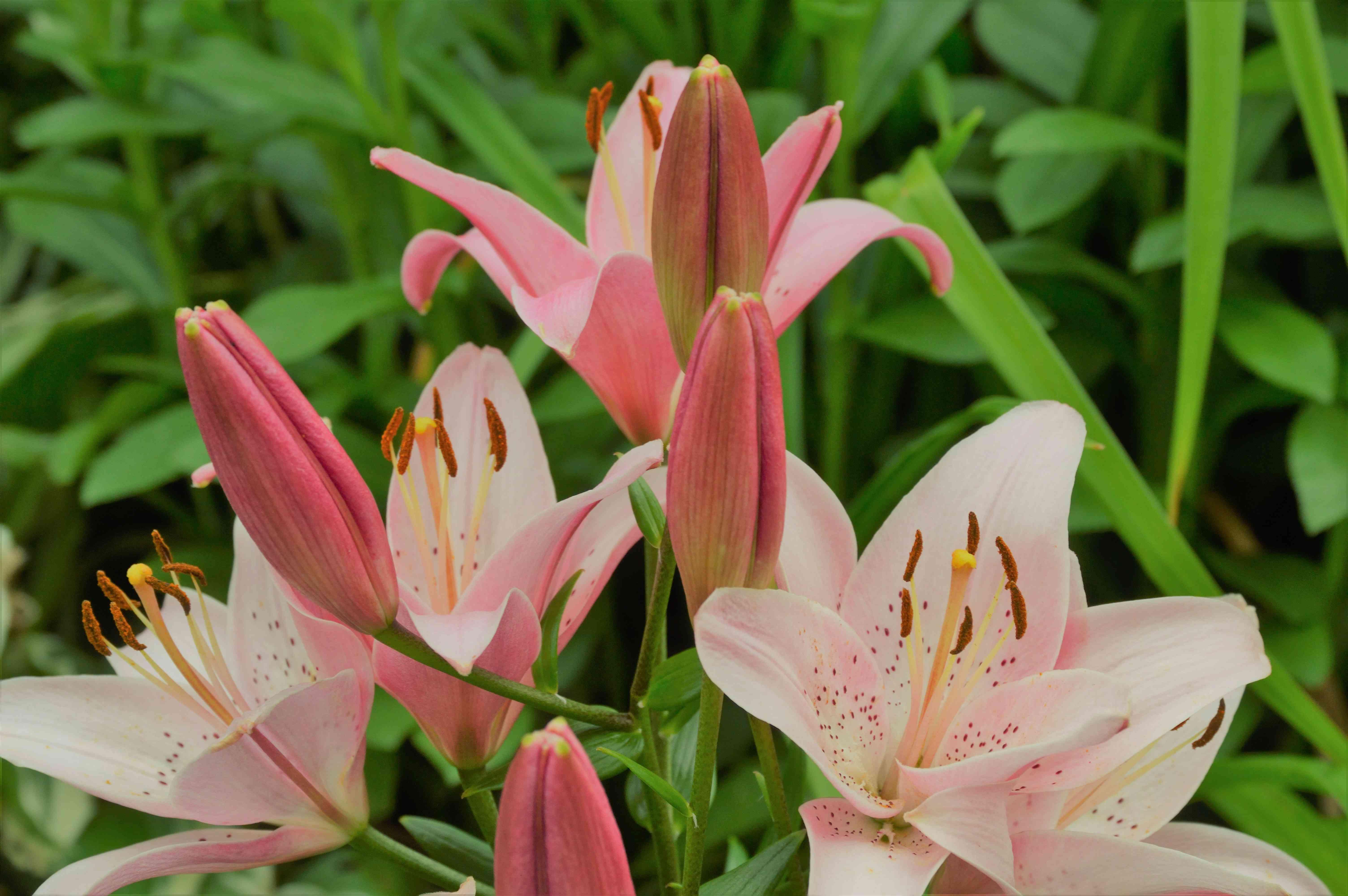 Asiatic Lily 'Chianti' Lilium