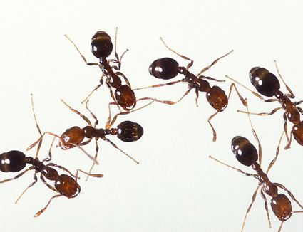 Control Carpenter Ants And Winged Ants In The Home