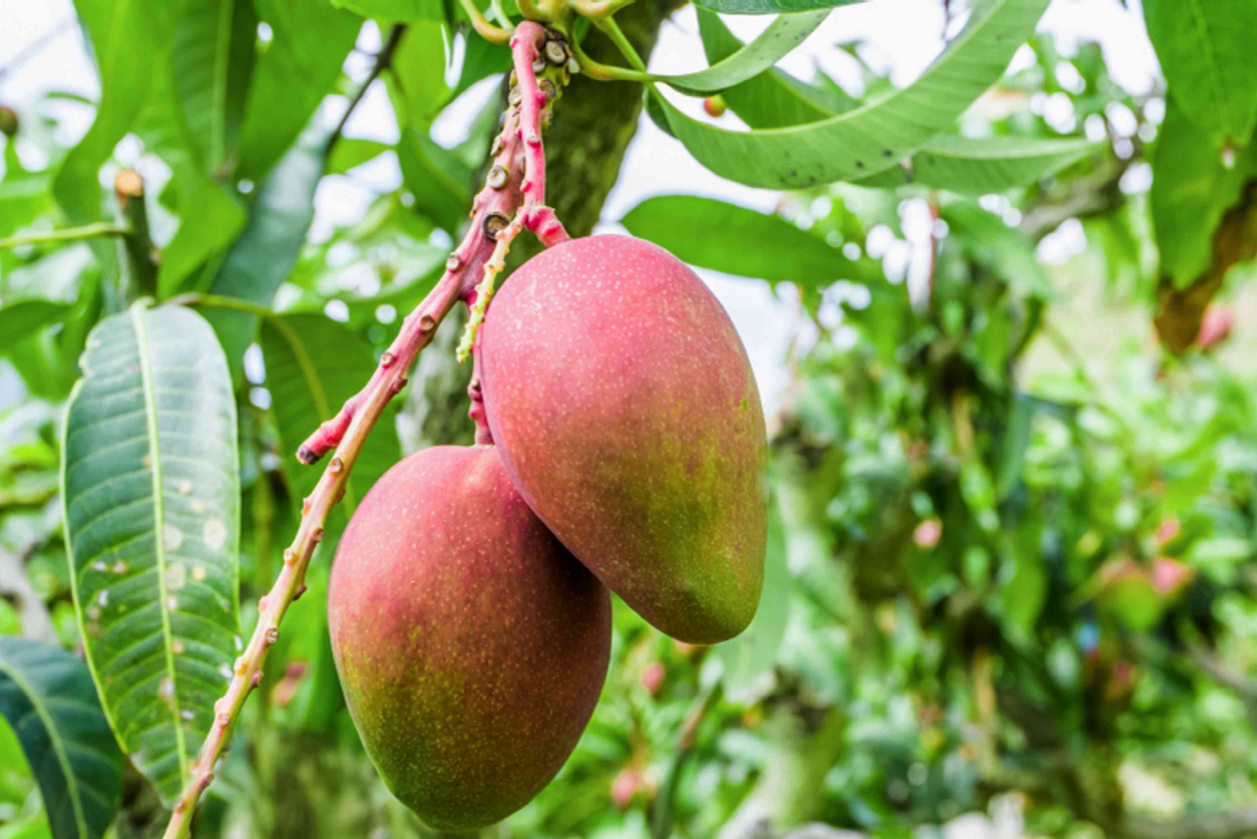 Red mangoes hanging from mango tree branch closeup