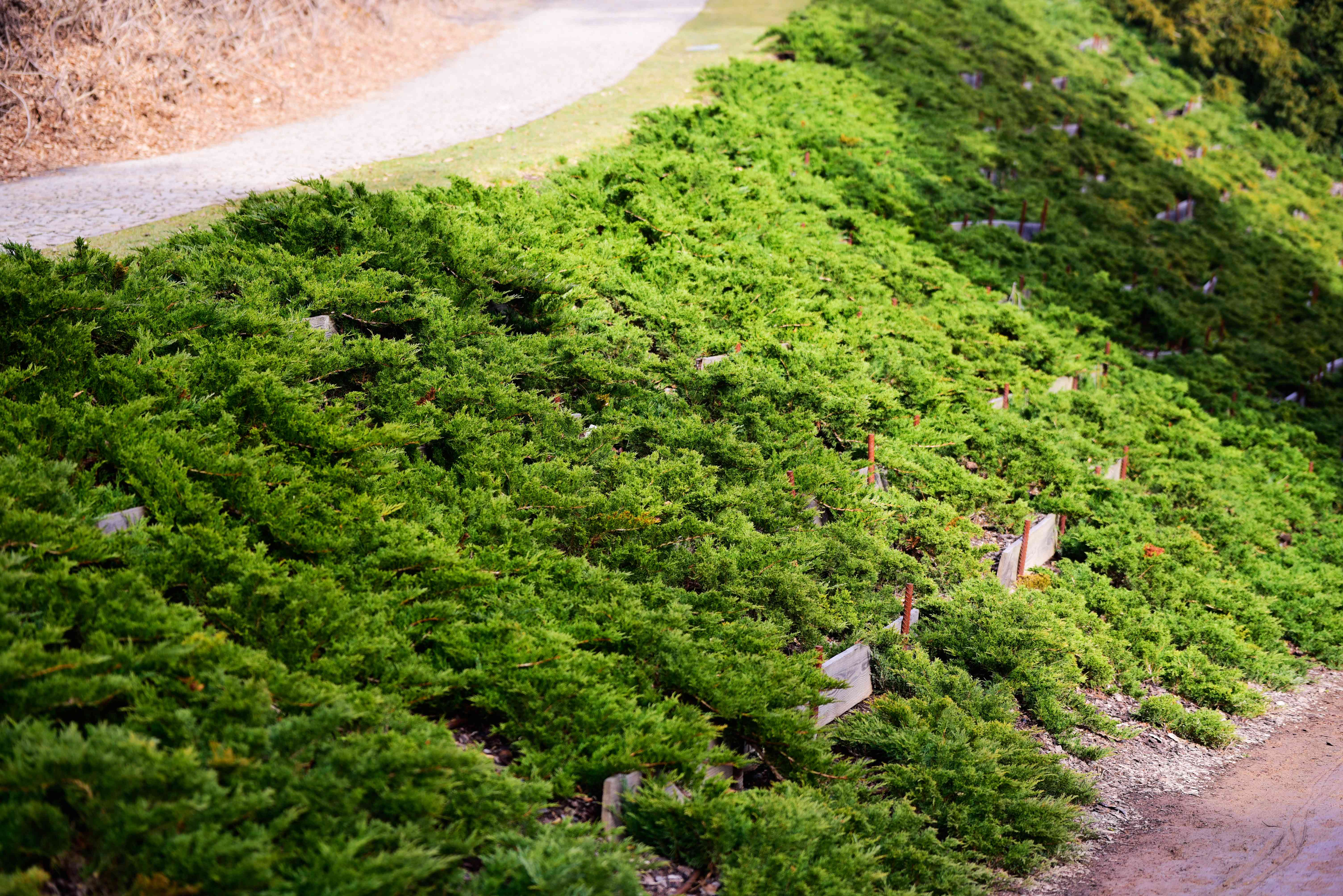 Creeping juniper plant on side of hill and two pathways