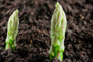 asparagus poking through soil