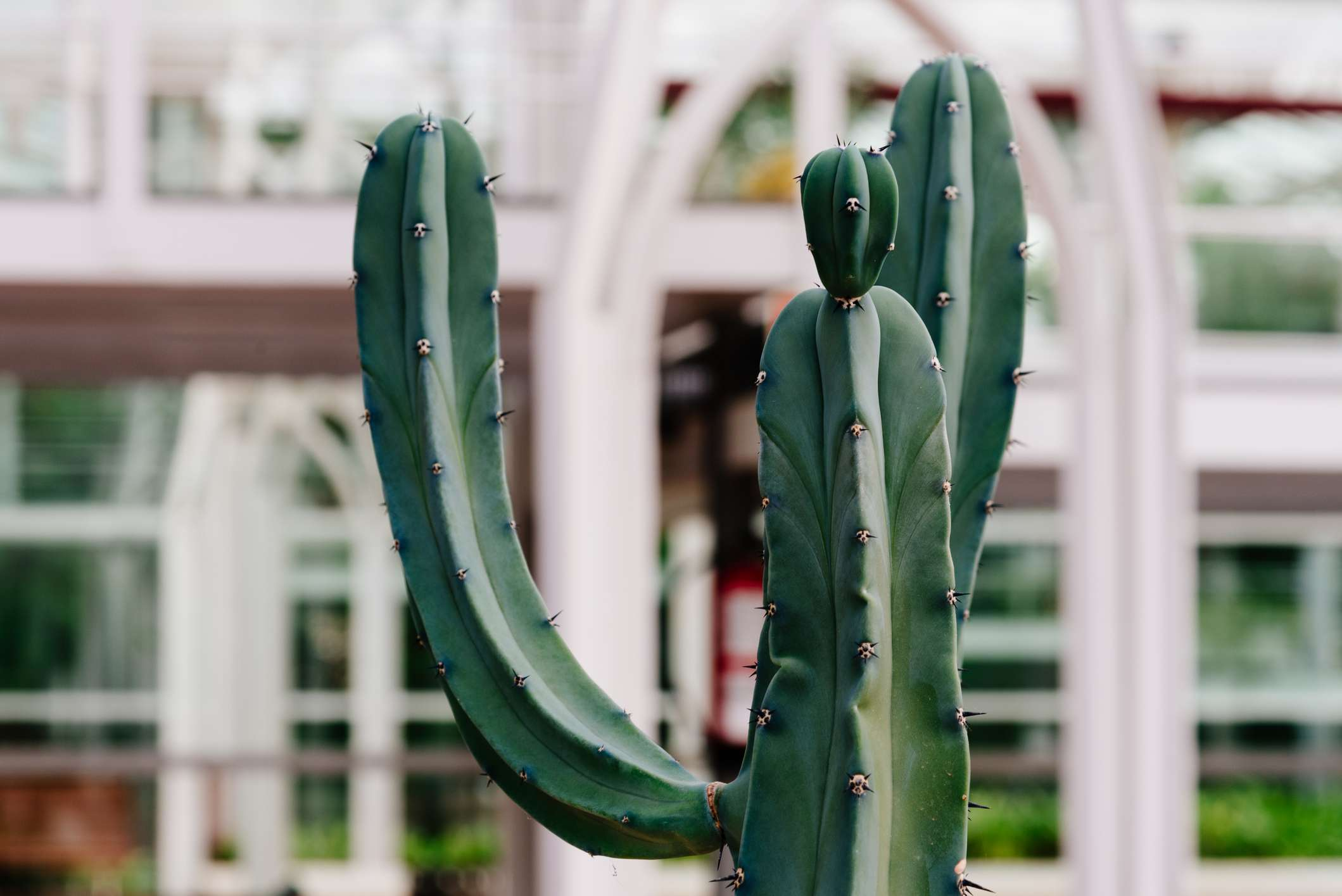 """Close up view of Myrtillocactus geometrizans, it is a large shrubby cactus growing to 4""""u20135 m tall, with candelabra-like branching on mature plants."""