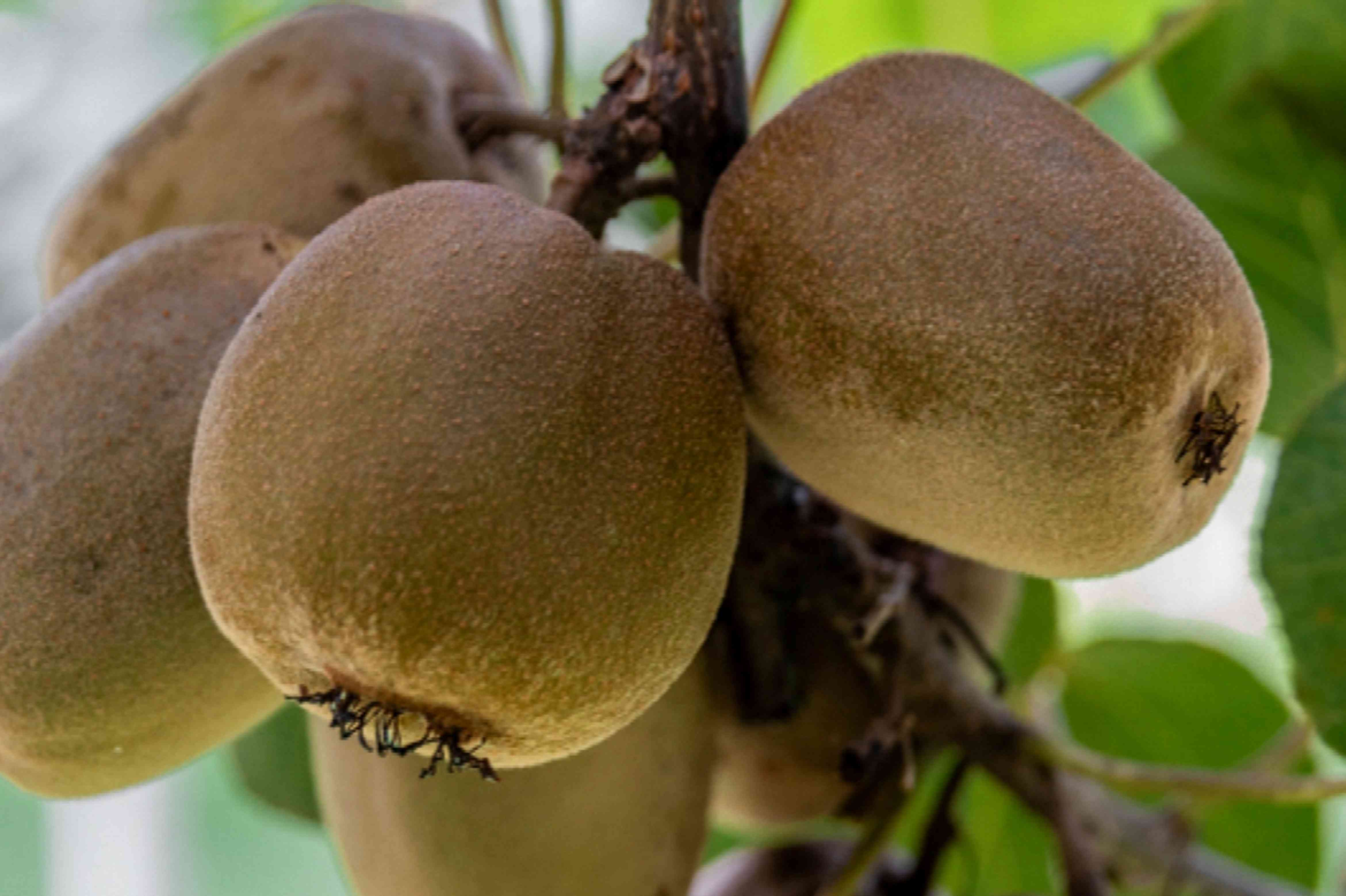 Brown egg-shaped kiwifruit hanging on stem with fuzzy skin closeup