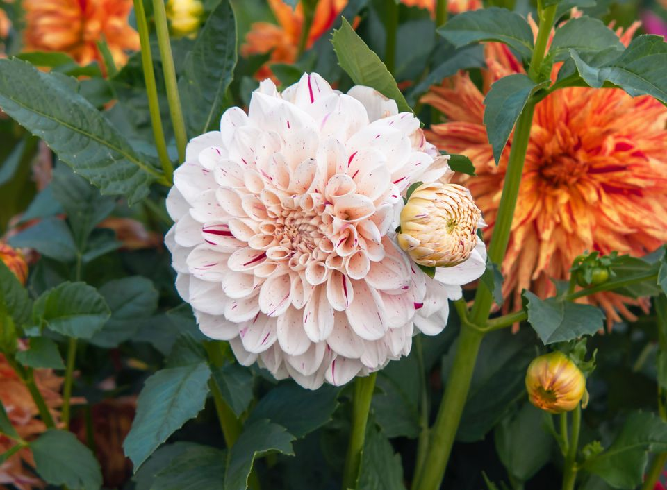 Dahlia 'Hulins Carnival' with white ornamental flowers and bud surrounded by leaves