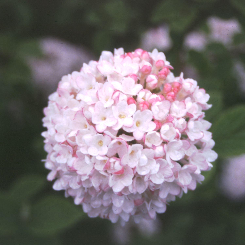 Flores de picante coreano Viburnum' Diana '(Viburnum carlesii' Diana ')