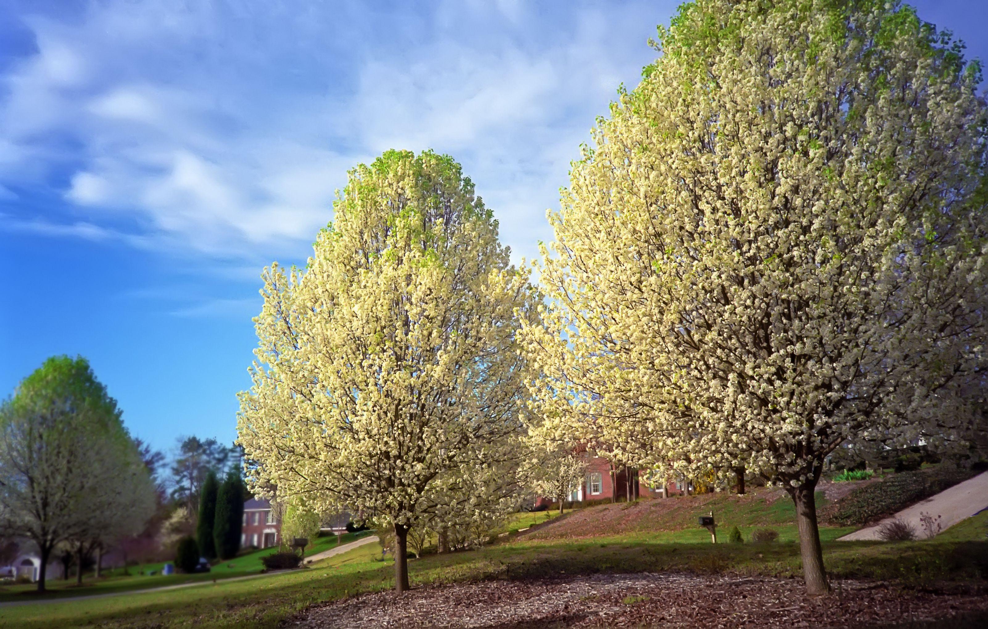 Bradford pear trees flowering in springtime