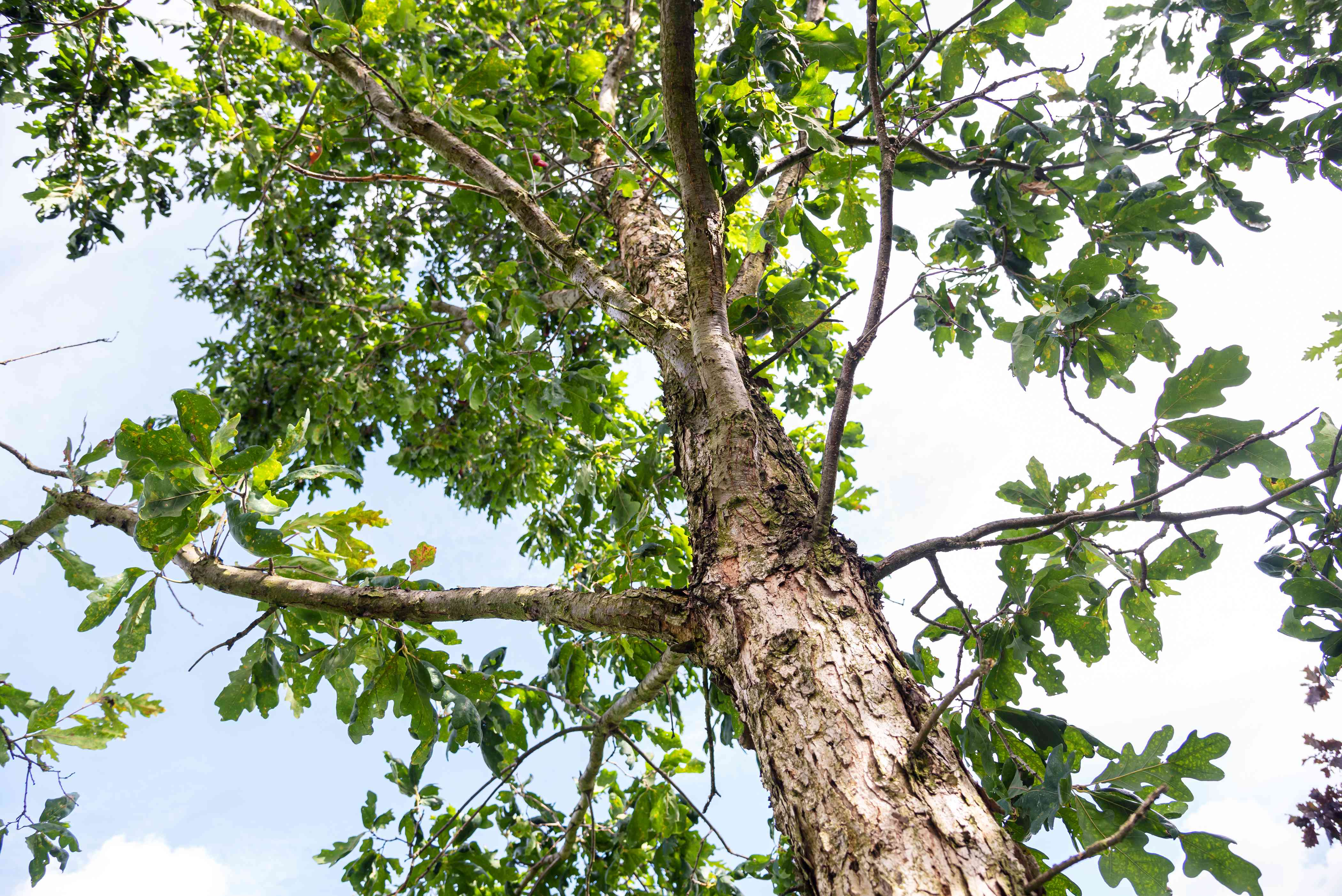 White oak tree with tall trunk and sprawling branches with large leaves