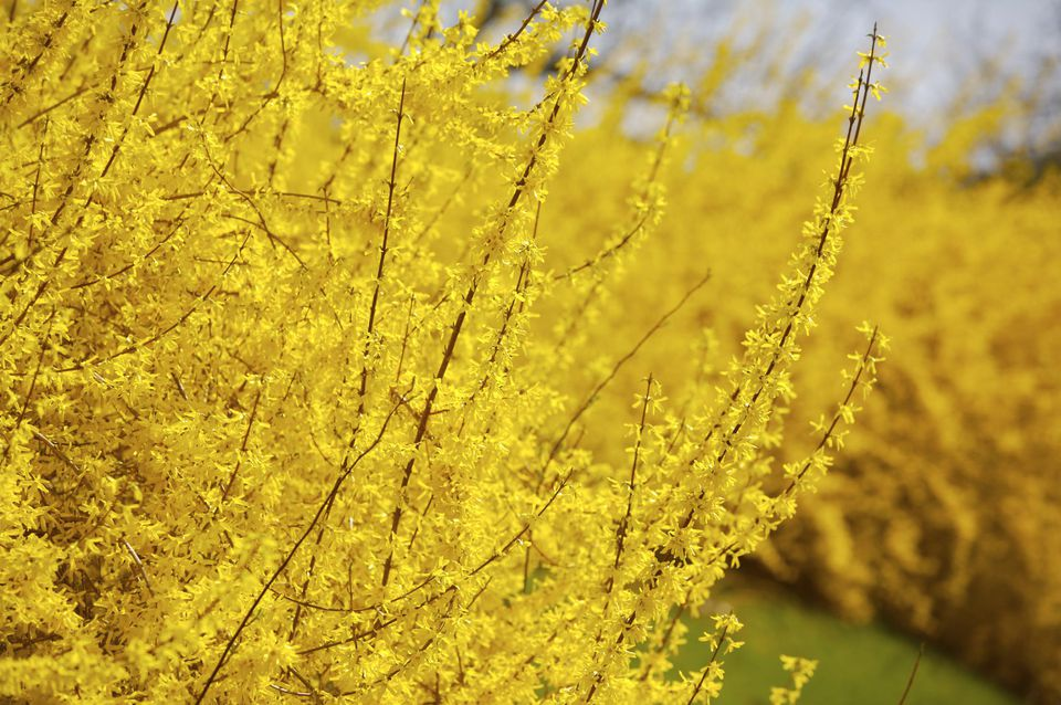 Forsythia bush in bloom.