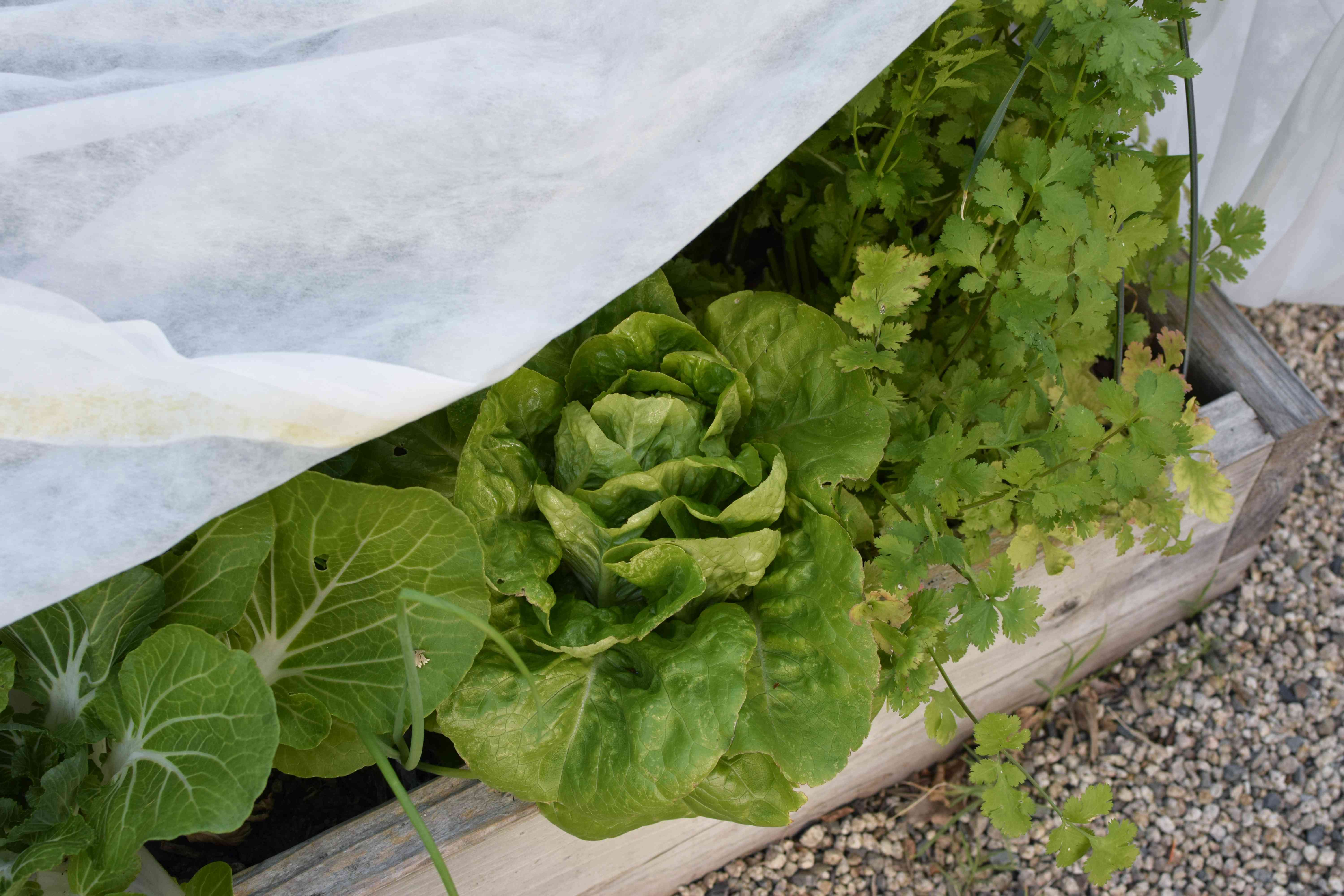 Lettuce head with other herbs and greens growing in garden box under shade