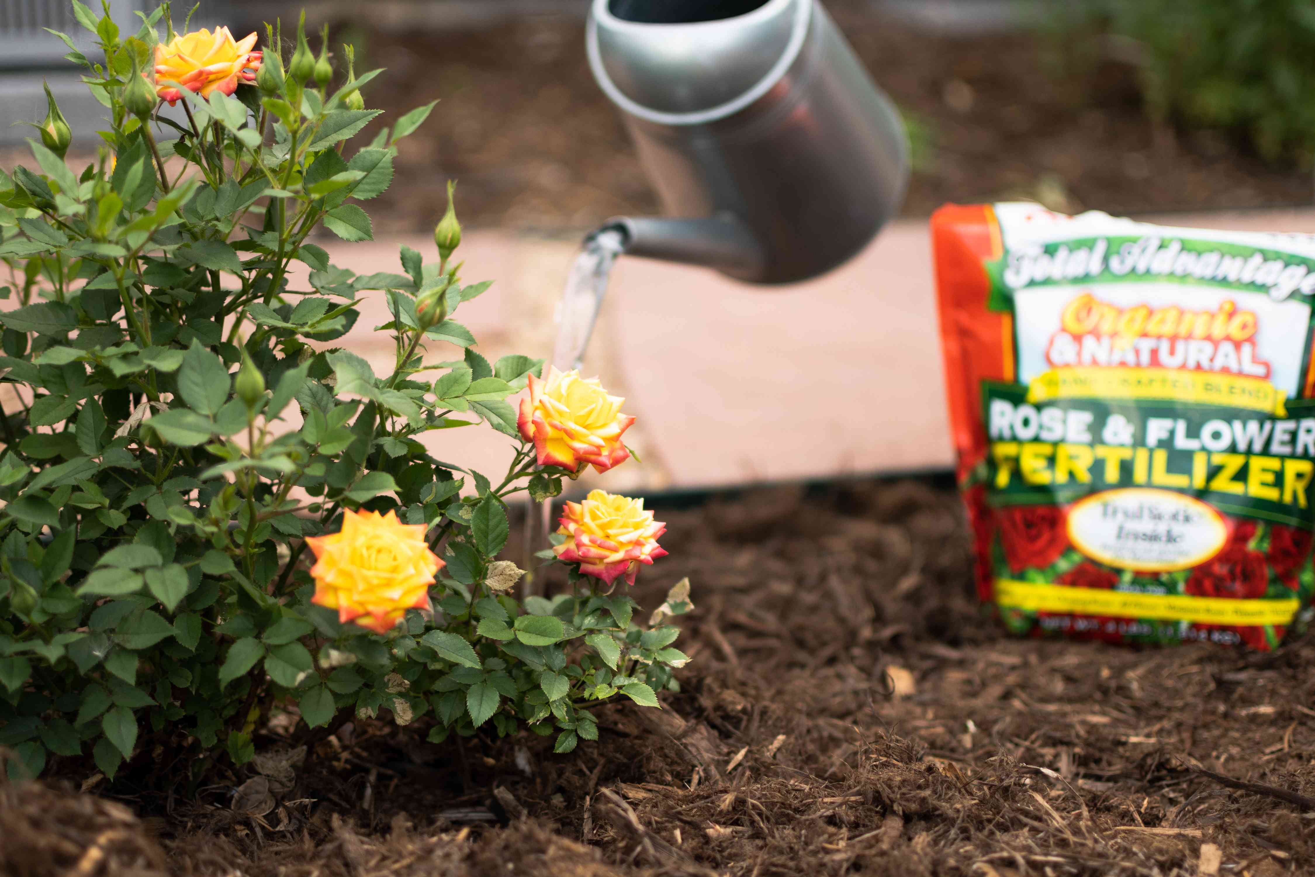 Watering can pouring water on rose bush next to flower fertilizer bag