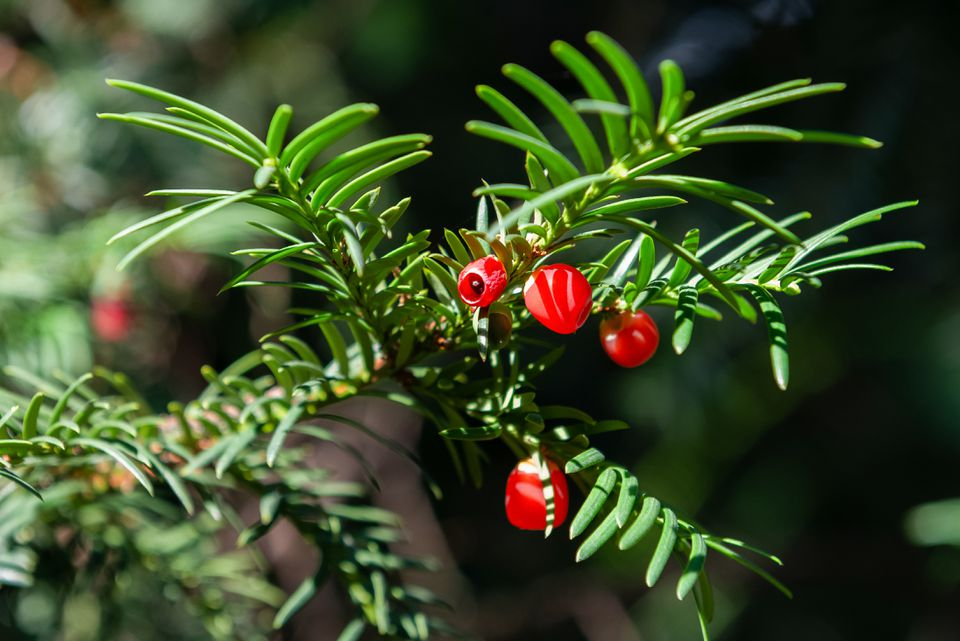 Japanese yew tree branch with evergreen needs and bright red ornamental fruit closeup