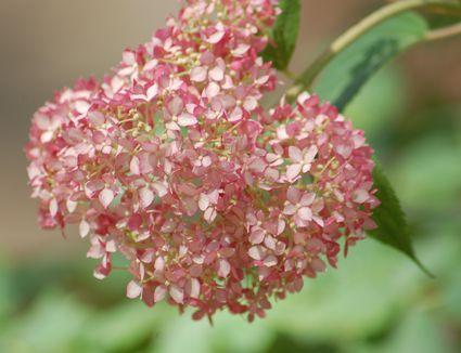 Nikko Blue Hydrangea Bushes Pruning Growing Tips