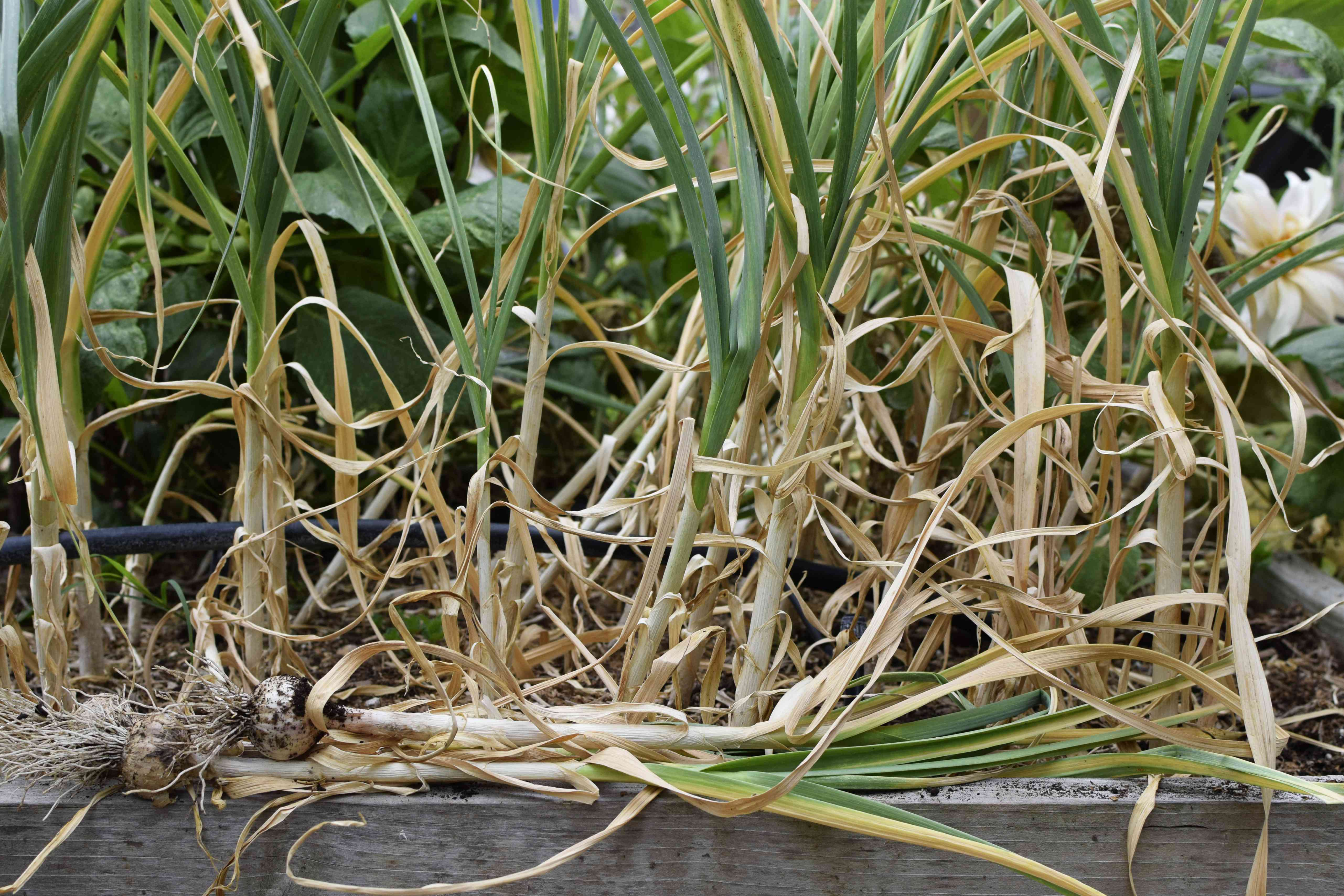 Garlic plants with yellowing leaves and pulled out garlic resting on wood