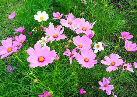 Cosmos Flowers Easy Garden Flowers
