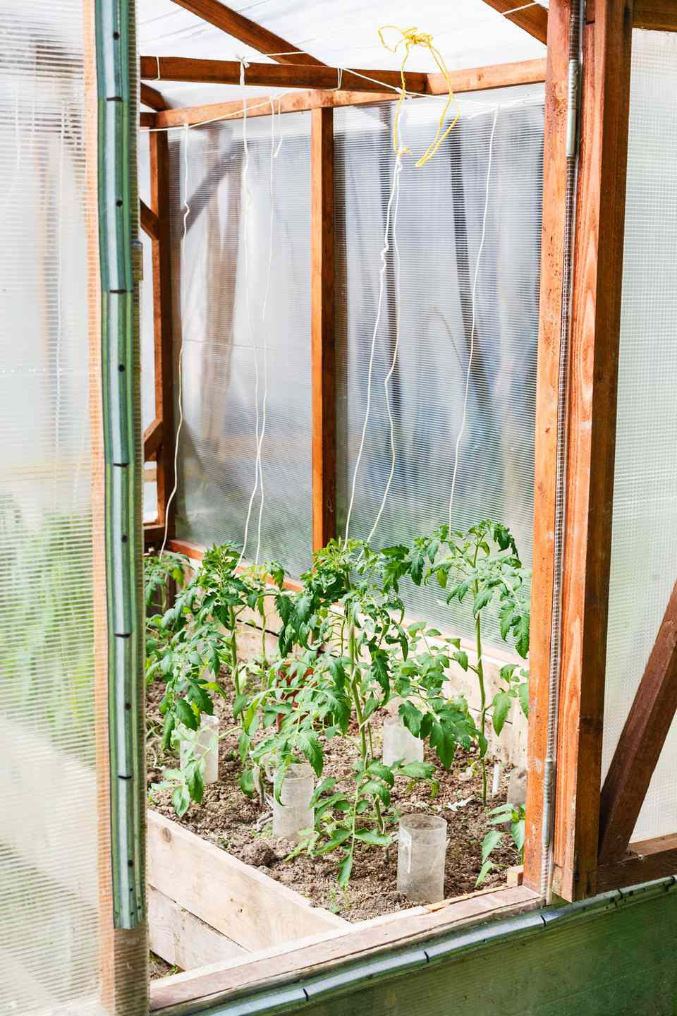 small greenhouse with tomato bushes