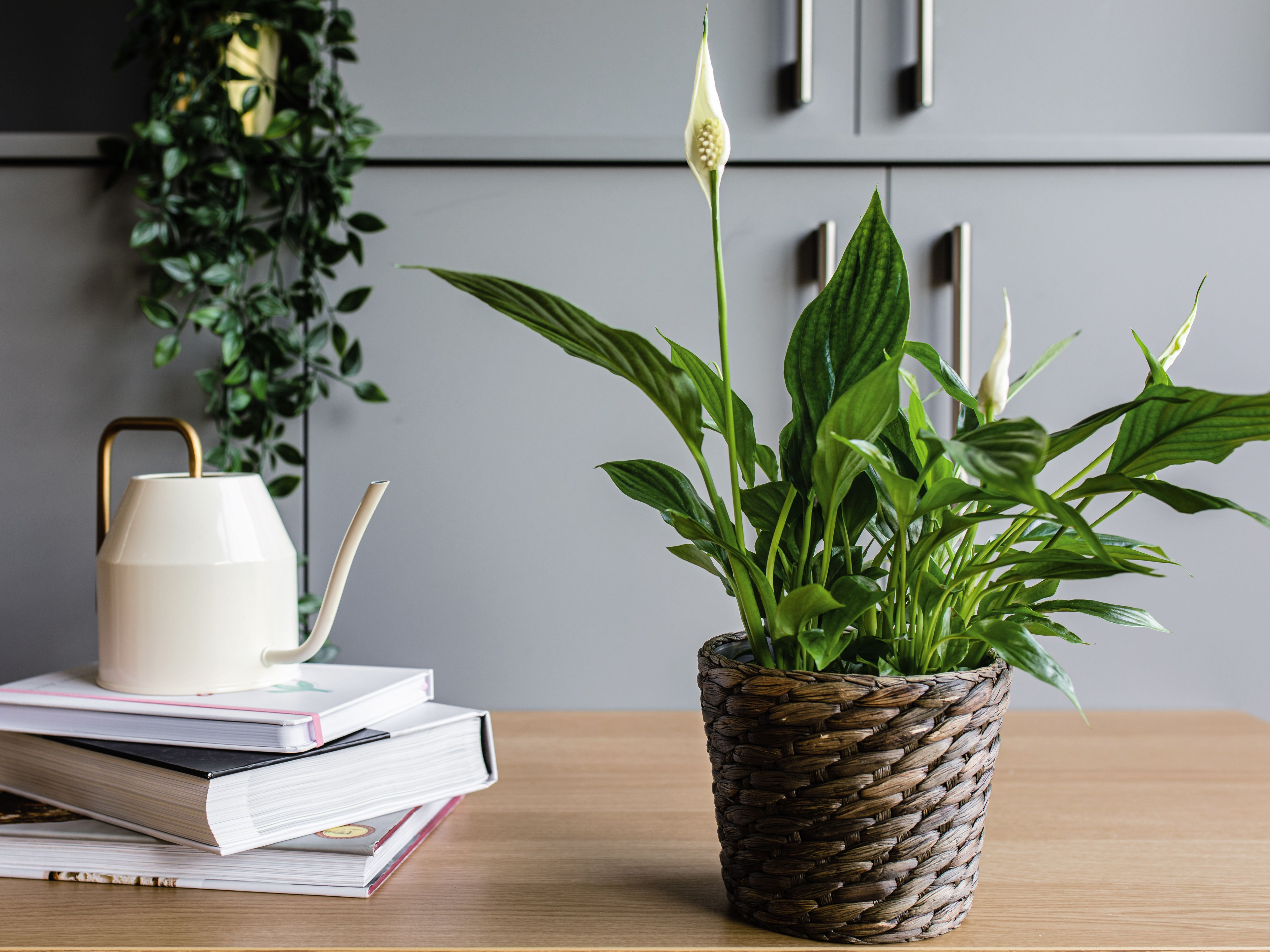 How To Grow And Care For The Peace Lily