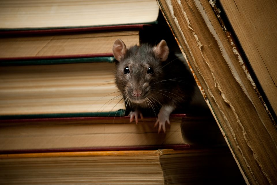 Rat with book