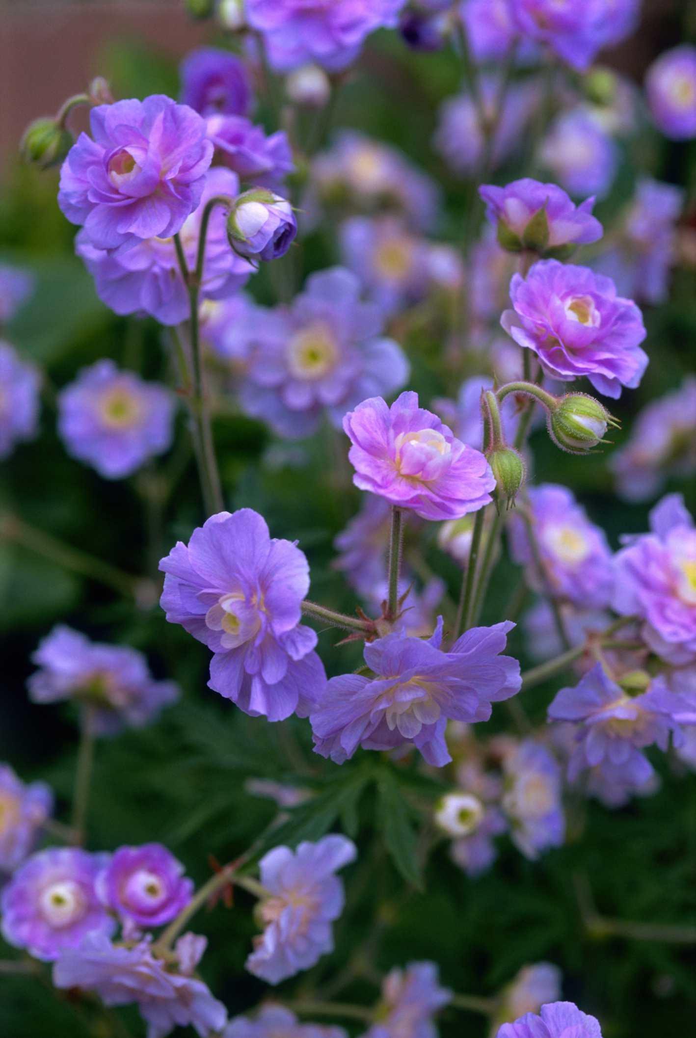'Summer Skies' geranium with purple flowers