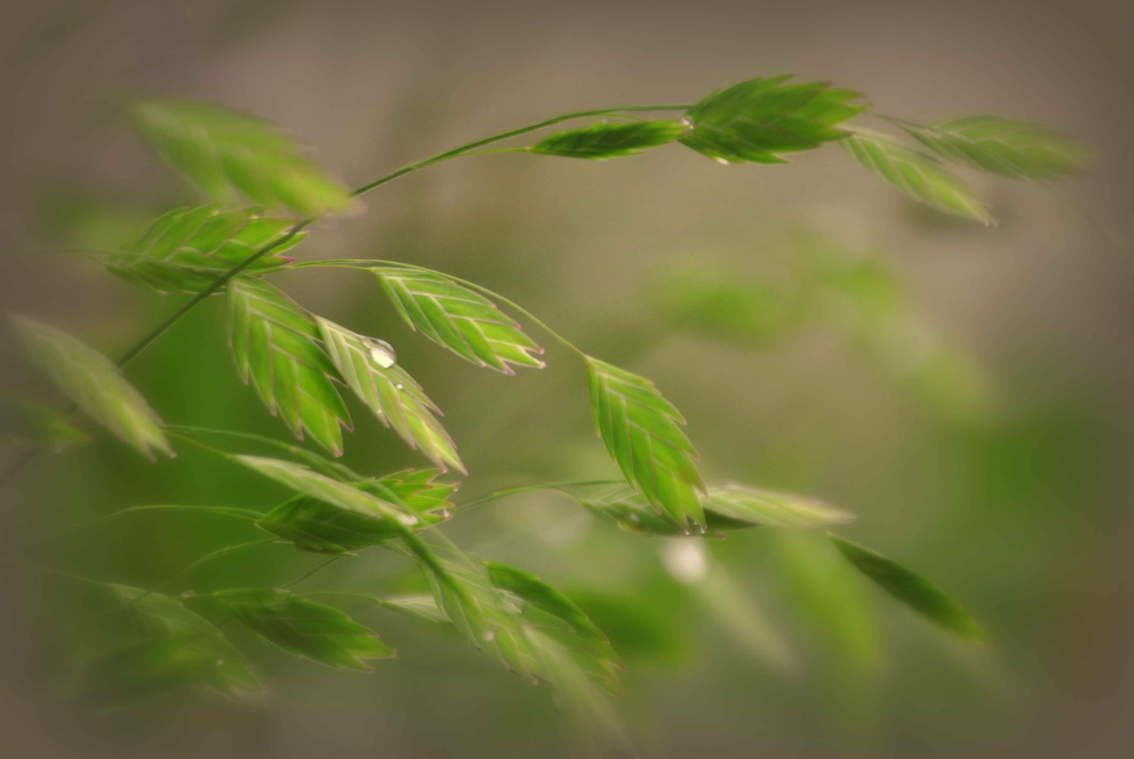 Northern Sea Oats Chasmanthium latifolium