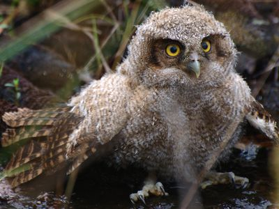 Great horned owl owlet standing on the ground.