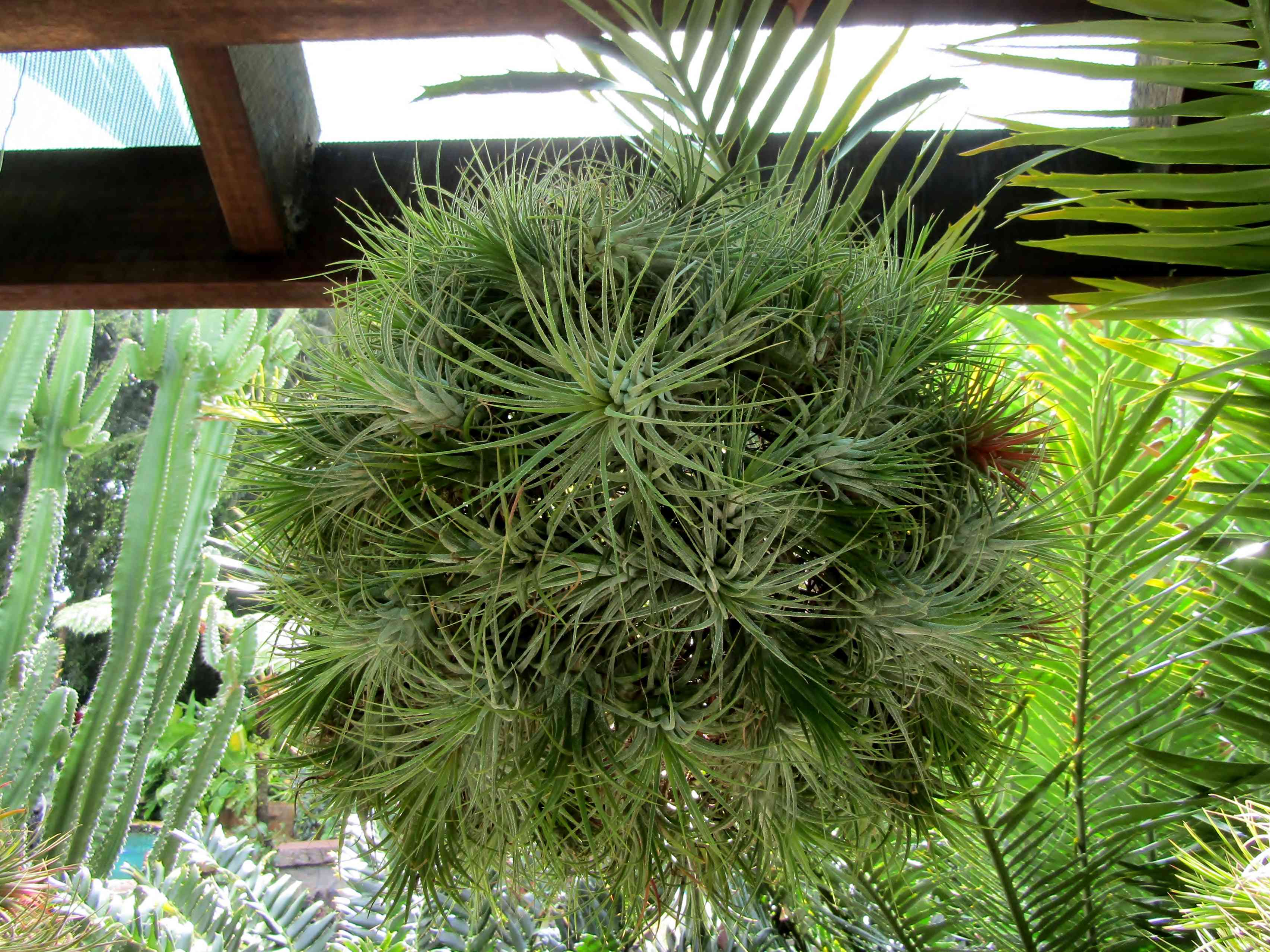 Mad Pupper air plant shaped as a hanging ball of green leaves