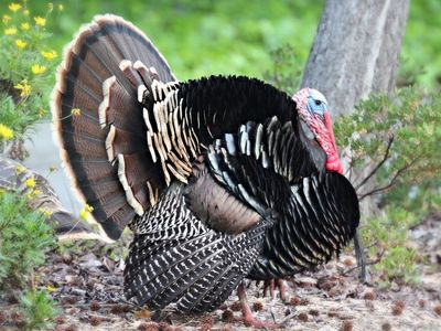 wild turkey everything you need to know before thanksgiving