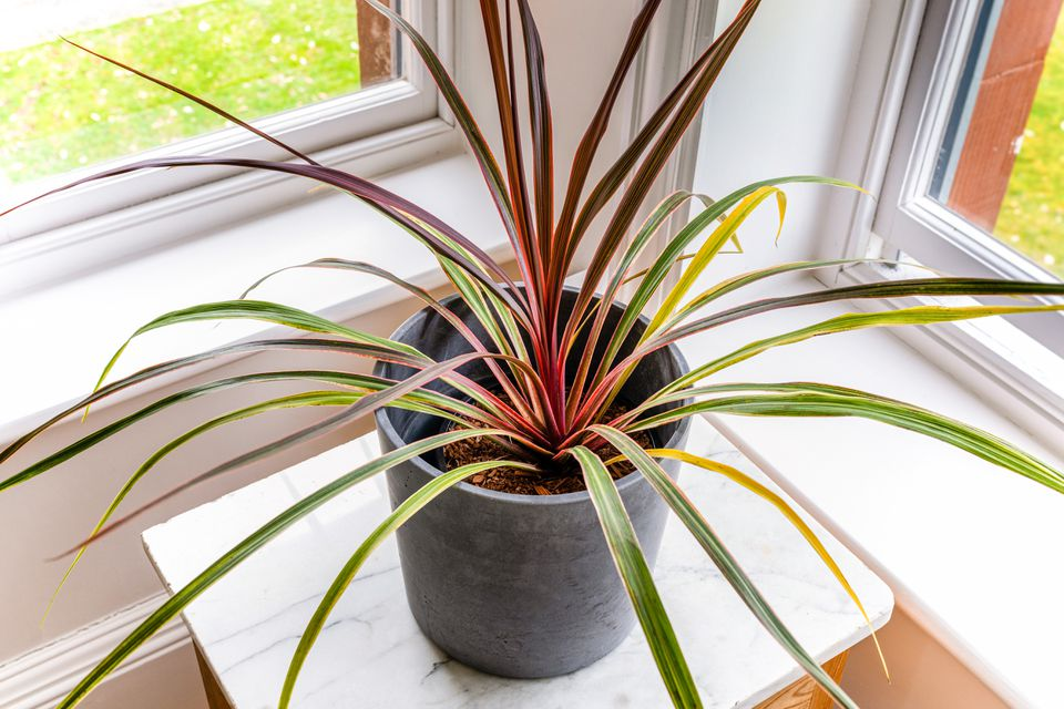 cordyline plant by a window