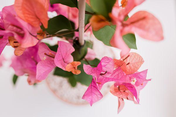 closeup of bougainvillea