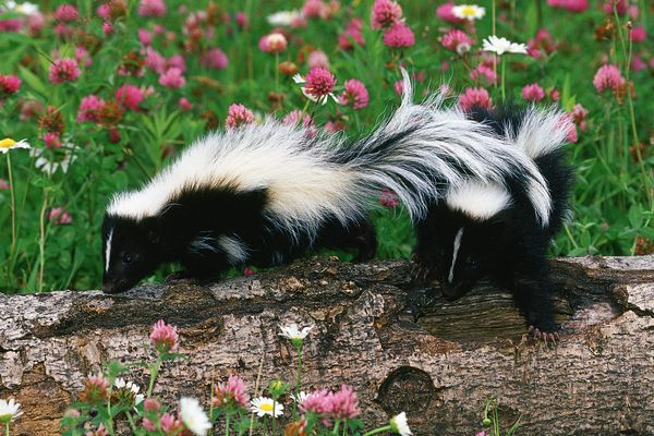 Skunks, Sandstone, Minnesota