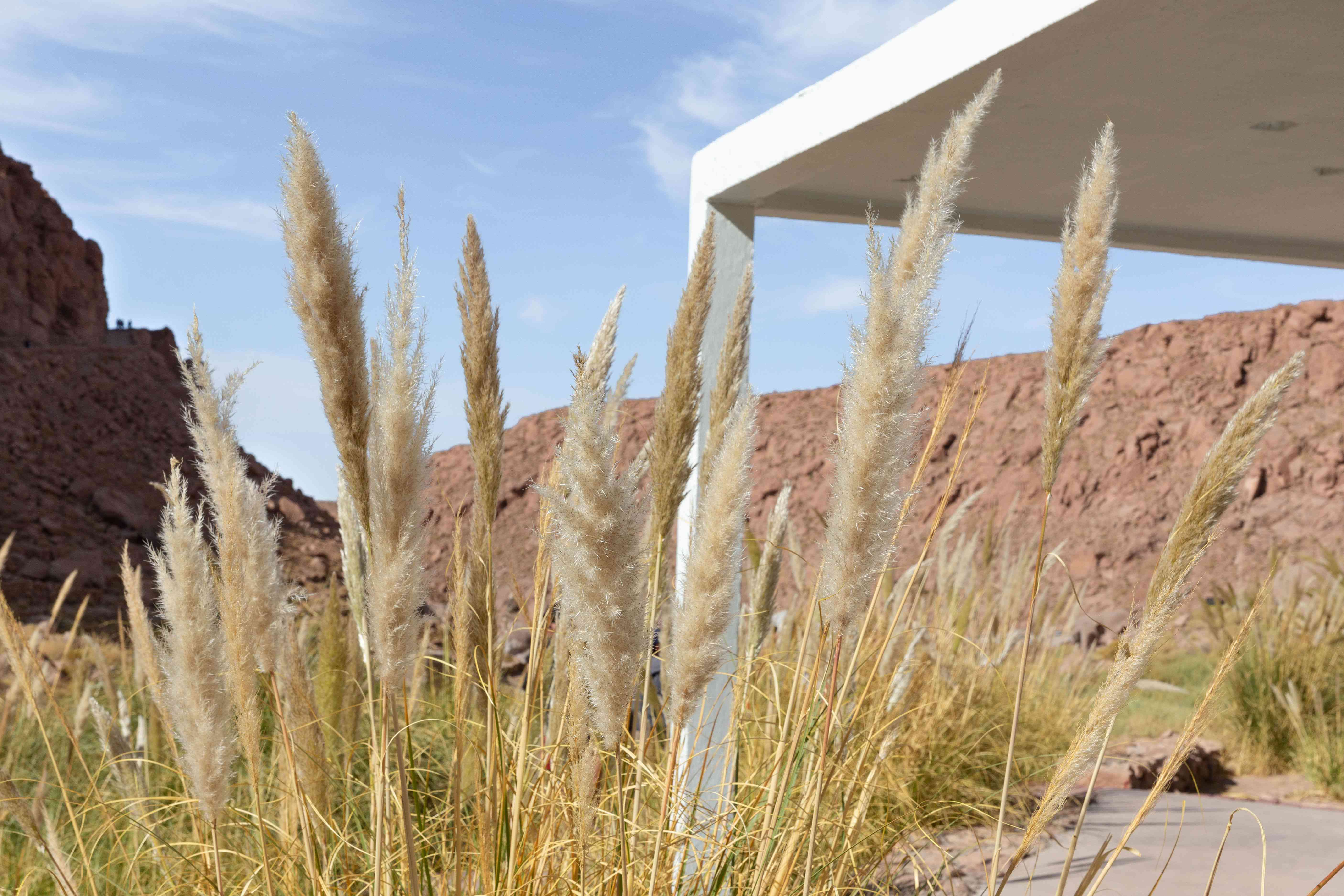 Tall ornamental grass with cream feathery plumes outside white covered patio in desert